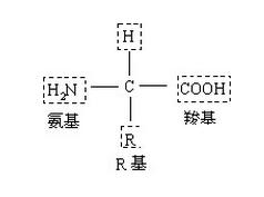 氨基酸活性物